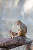 Macierzysta małpa bierze opiekę jej dziecko Fotografia Stock