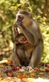 Macierzysta małpa z dzieckiem pije mleko Fotografia Stock