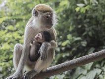 Macierzysta małpa z swój dzieckiem Fotografia Royalty Free