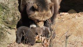 Macierzysta niedźwiadkowa pieszczotliwość 3 dziecka przy meliną zbiory wideo