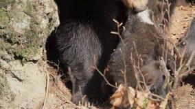Macierzysta niedźwiadkowa pieszczotliwość jej dzieci zdjęcie wideo