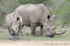 Macierzysta nosorożec i łydka fotografujący przy Hluhluwe/Imfolozi gry rezerwą w Południowa Afryka Zdjęcie Royalty Free