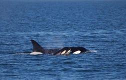 Macierzysta orka i jej łydka Fotografia Stock
