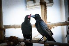 Macierzysta wrona z jej dzieckiem Fotografia Stock