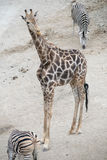 Macierzysta żyrafa Fotografia Stock