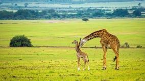 Macierzysta żyrafa z jej dzieckiem Fotografia Royalty Free