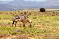 Macierzysta zebra wykarmia jej młodego źrebięcia Fotografujący przeciw górzystemu tłu w Halnej zebry parku narodowym, Wschodnim Zdjęcie Royalty Free