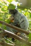 Macierzystego chronienia dziecka Srebrzysty lutung &-x28; Trachypithecus cristatus&-x29; w Bako parku narodowym, Borneo fotografia royalty free