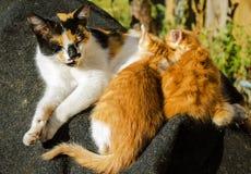 Macierzystego kota żywieniowe figlarki obrazy stock