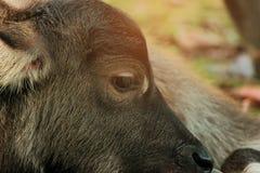 Macierzysty bizon pielęgnuje swój dziecka Tajlandia Fotografia Royalty Free