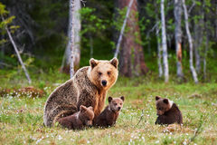 Macierzysty brown niedźwiedź i jej lisiątka Fotografia Royalty Free
