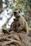 Macierzysty cuddling dziecka langur Obraz Royalty Free