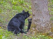 Macierzysty Czarny niedźwiedź i jeden lisiątko pobyt blisko do drzewa zdjęcie stock