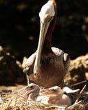 Macierzysty dopatrywanie jej młodzi pelikany Fotografia Stock