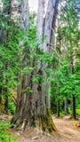 Macierzysty drzewo zdjęcie royalty free