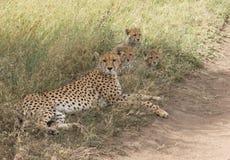 Macierzysty gepard i jej lisiątka fotografia stock