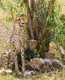 Macierzysty gepard i jej lisiątka w sawannie Kenja Tanzania africa Park Narodowy kmieć Maasai Mara fotografia royalty free