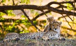 Macierzysty gepard i jej lisiątko w sawannie Kenja Tanzania africa Park Narodowy kmieć Maasai Mara Zdjęcia Royalty Free