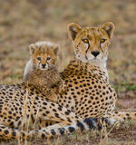 Macierzysty gepard i jej lisiątko w sawannie Kenja Tanzania africa Park Narodowy kmieć Maasai Mara Zdjęcia Stock
