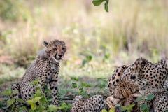 Macierzysty gepard i lisiątka karmi na Impala fotografia stock