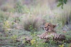 Macierzysty gepard kłaść w trawie fotografia stock
