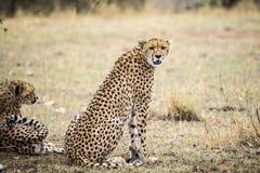 Macierzysty gepard, Malaika, przegląda krajobraz dla zdobycza, Kenja Zdjęcie Stock