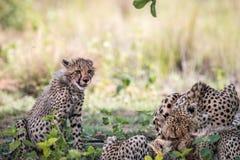 Macierzysty gepard z młodymi lisiątkami na Impala zwłoka zdjęcia stock