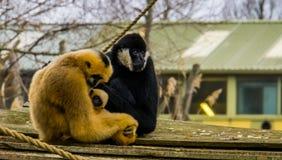 Macierzysty gibon trzyma jej nowonarodzonego niemowlaka ojca obsiadanie obok ona który jest przyglądający w kamerze, Małpi rodzin obraz stock