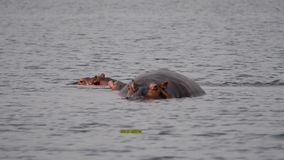 Macierzysty hipopotam Z łydką W wodzie staw W Afryka rezerwie Troszkę zbiory wideo