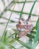 Macierzysty Hummingbird obsiadanie w jej gniazdeczku Zdjęcia Stock