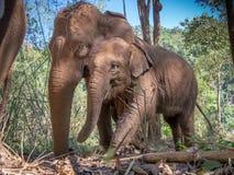 Macierzysty i młody słoń w Tajlandia zdjęcia royalty free