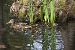Macierzysty kaczki i dziecka kaczek kaczątko Zdjęcia Stock