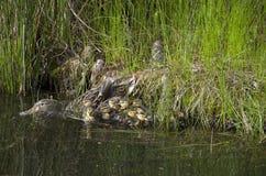 Macierzysty kaczki i dziecka kaczek kaczątko Zdjęcia Royalty Free