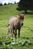 Macierzysty koński żywieniowy dziecko koń Zdjęcia Royalty Free