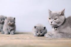 Macierzysty kot bierze opiece ona figlarki Zdjęcia Royalty Free