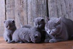 Macierzysty kot bierze opiece ona figlarki Zdjęcie Royalty Free