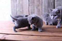 Macierzysty kot bierze opiece ona figlarki Zdjęcia Stock