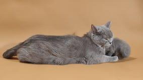 Macierzysty kot bierze opiekę jej dziecko figlarka zbiory wideo