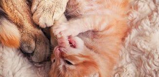 Macierzysty kot i figlarka Obraz Royalty Free