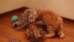 Macierzysty kot liże jej figlarki zbiory