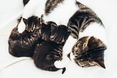 Macierzysty kot pielęgnuje jej dzieci Zdjęcia Stock