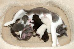 Macierzysty kot z figlarek pielęgnować Zdjęcie Royalty Free