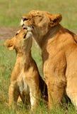 Macierzysty lew i lwa lisiątko Zdjęcia Royalty Free