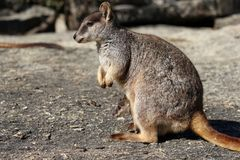 Macierzysty Mareeba wallaby z joey w kieszonce zdjęcia stock