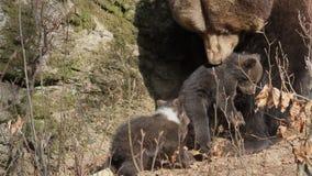 Macierzysty niedźwiedź i dzieci przy meliną zbiory wideo