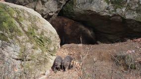 Macierzysty niedźwiedź i dzieci przy meliną zdjęcie wideo