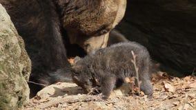 Macierzysty niedźwiedź i dziecko przy meliną zbiory wideo