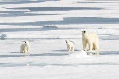 Macierzysty niedźwiedź polarny i Dwa lisiątka na lodzie morskim Obraz Royalty Free