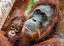 Macierzysty orangutan i lisiątko fotografia stock