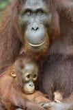 Macierzysty orangutan i lisiątko zdjęcia stock